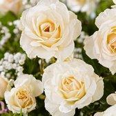 Rosa 'True Love' - Grootbloemige roos wit - ↑ 20-45cm - Ø 22cm