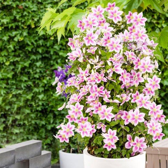2x Clematis 'Piilu' - Bosrank roze - Set van 2 - ↑ 55-65cm - Ø 15cm