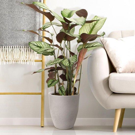 Calathea 'White Star' XL - Calathea kamerplant - Grote luchtzuiverende plant - ↑ 80-90 cm - Pot Ø19cm