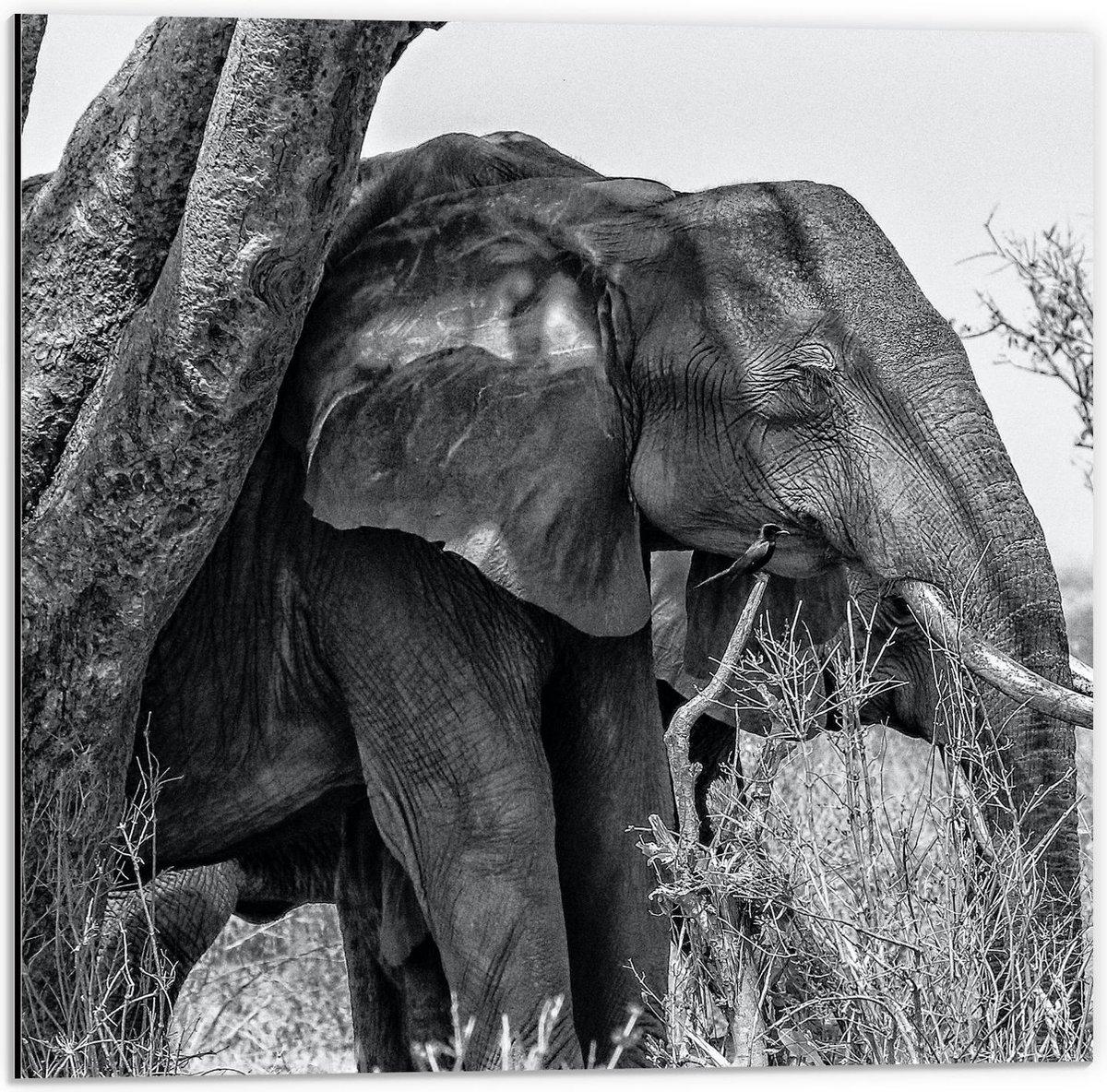 Dibond - Grote Olifant bij een Boom ( Zwart Wit )  - 50x50cm Foto op Aluminium (Wanddecoratie van metaal)