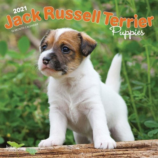 Jack Russell Terrier Puppies Kalender 2021