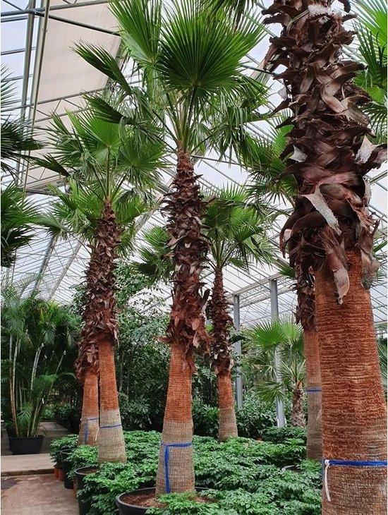 Washingtonia robusta - Woestijnpalm 650-670cm - Kale stam