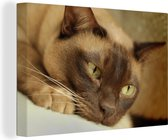 Bruin gekleurde Burmese kat Canvas 180x120 cm - Foto print op Canvas schilderij (Wanddecoratie woonkamer / slaapkamer) / Huisdieren Canvas Schilderijen XXL / Groot formaat!