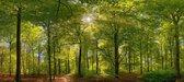 Fotobehang Beukenbos in het voorjaar 350 x 260 cm