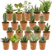 Desertworld Mini Cactussen en Vetplanten Mix - 20 stuks - Ø 6 cm ↕️ 8-15 cm