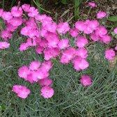 12 x Dianthus deltoides Brilliant - Steenanjer in 9x9cm pot (stuksprijs €2,99)
