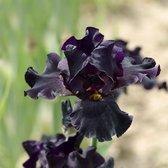 Waterworld Paarse Wateriris Iris Louisiana Black Gamecock - 4 stuks + Aqua Set