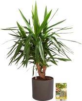 Pokon® Yucca / Palmlelie incl. watermeter en voeding - in Mica Era Pot Donker Grijs - hoogte ↕100 cm