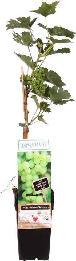 Klimplant Druivenplant - Maak je eigen wijn of eet ze lekker op - Druivenstruik met druif voor in de tuin - Ø 15 cm - Hoogte 55 cm