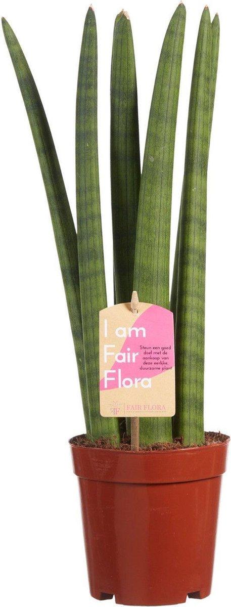 Duurzaam geproduceerde Kamerplant van FAIR FLORA® - 1 x Sansevieria Cylindrica - Duurzaam geproduceerde Kamerplant van FAIR FLORA® 40 cm