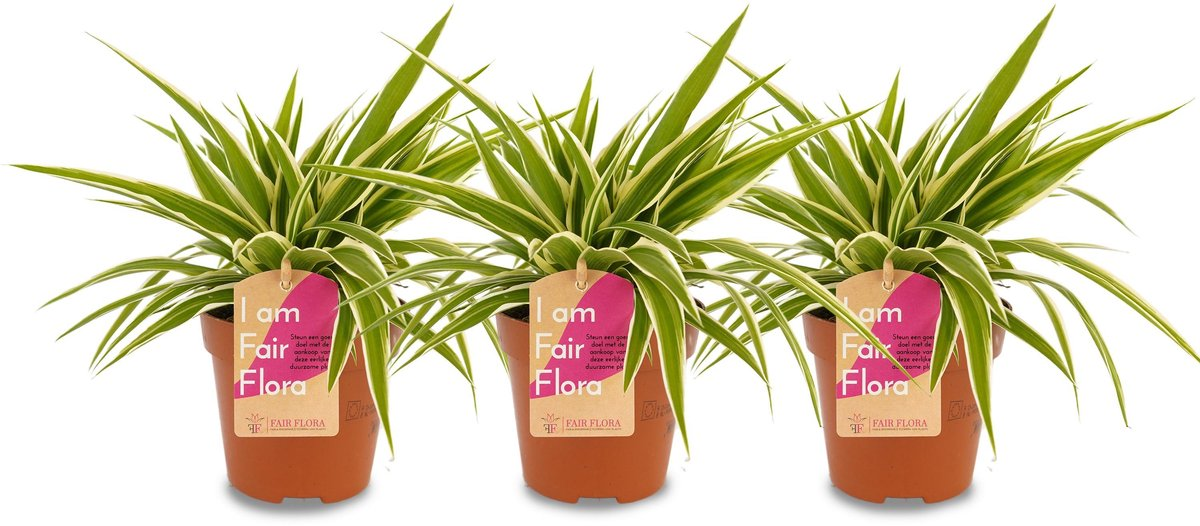 Duurzaam geproduceerde Kamerplant van FAIR FLORA® - 3 x Graslelie - Hoogte: ca. 20 cm - Latijnse naam: Chlorophytum comosum