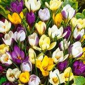 50x Crocus chrysanthus - Botanische Krokus Mix - Paars Geel Wit - Vroegbloeiers - 50 bloembollen Ø 5-7 cm
