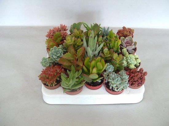 Vetplanten/ Succulenten mix 5.5 cm x 20