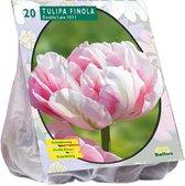 Tulipa (Tulpen) bloembollen - Finola - Dubbel Laat - 2x20 stuks