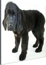 Schattige zwarte puppy Aluminium 30x20 cm - klein - Foto print op Aluminium (metaal wanddecoratie)