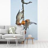 Twee pestvogels eten appeltjes fotobehang vinyl breedte 215 cm x hoogte 320 cm - Foto print op behang (in 7 formaten beschikbaar)