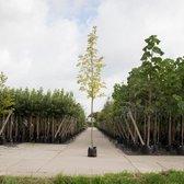 Bontbladige Noorse Esdoorn - 'Acer pl. 'Drummondii' 200 - 300 cm totaalhoogte (6 - 10 cm stamomtrek)