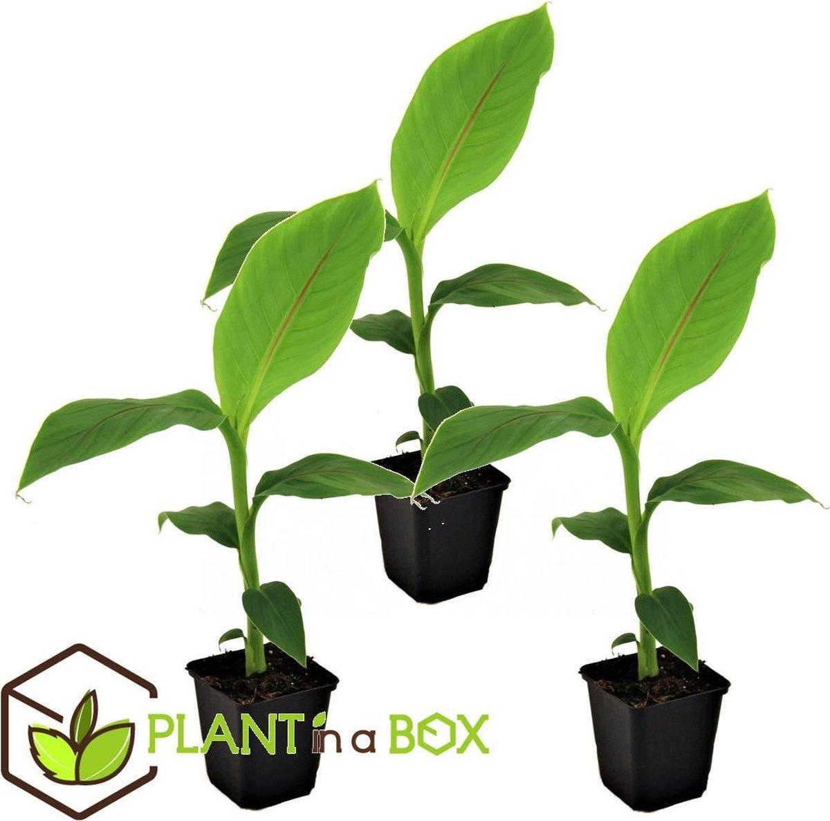 Plant in a Box - Set van 3 Musa Basjoo - winterharde bananenplanten - Pot   9cm -Hoogte   20-25cm