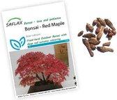 Acer rubrum zaden | Rode esdoorn | Bonsai