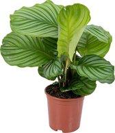 Calathea 'Orbifolia' per stuk   Luchtzuiverende kamerplant in kwekerspot ⌀14 cm - ↕35-45 cm