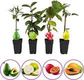 Tropische fruitplanten - set van 4 fruitplanten: Avocado, Boomtomaat, Papaya, Guave - hoogte 50-60 cm