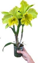 Cattleya Grootbloemig Lime - Orchidee
