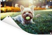 Yorkshire Terrier ligt op het gras met een tennisbal in zijn mond Tuinposter 120x80 cm - Tuindoek / Buitencanvas / Schilderijen voor buiten (tuin decoratie)