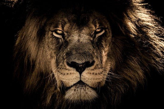 CANVASDOEK LEEUW | LION | Wanddecoratie |150 CM x 100 CM | Schilderij | Aan de muur | Dieren | Natuur