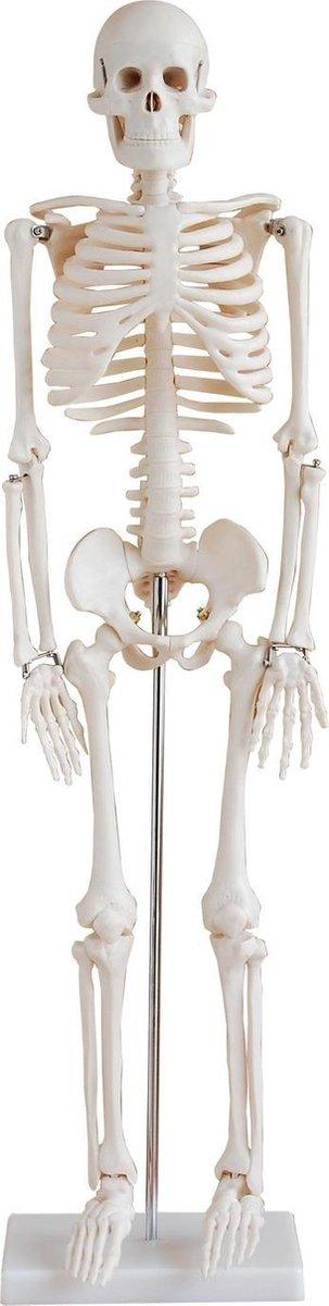 Anatomie model - Skelet menselijk lichaam - 85 cm hoog - Op standaard