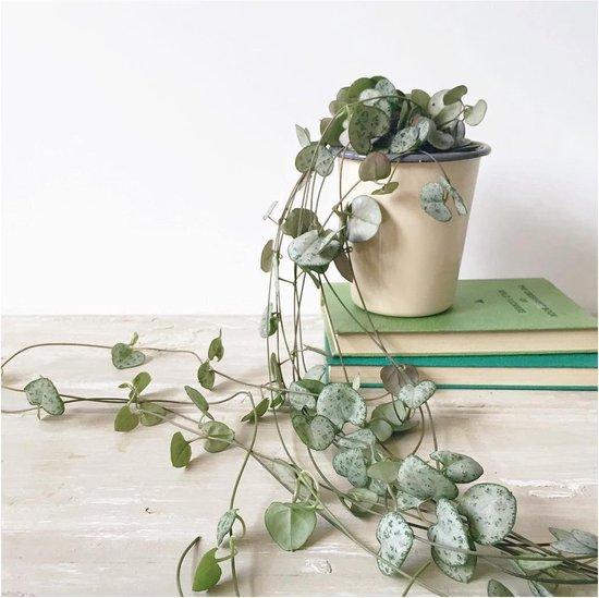 Dutch Flower Lady Lantaarnplantje Ceropegia Woodii - Hangplant