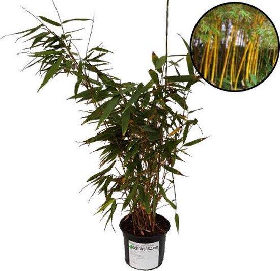 Fargesia robusta bamboe bamboo, vaste plant voor tuin terras en balkon.