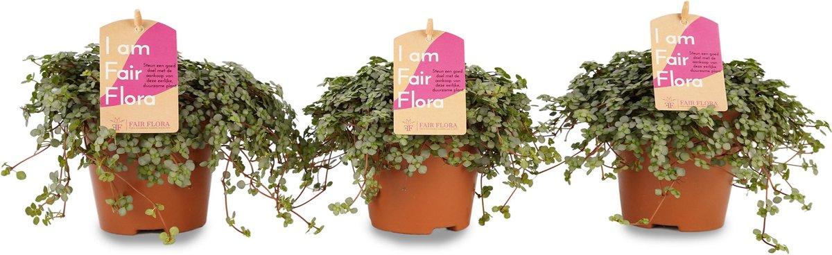 Duurzaam geproduceerde Kamerplant van FAIR FLORA® - 3 x Pilea Glauca - Duurzaam geproduceerde Kamerplant van FAIR FLORA® 12 cm