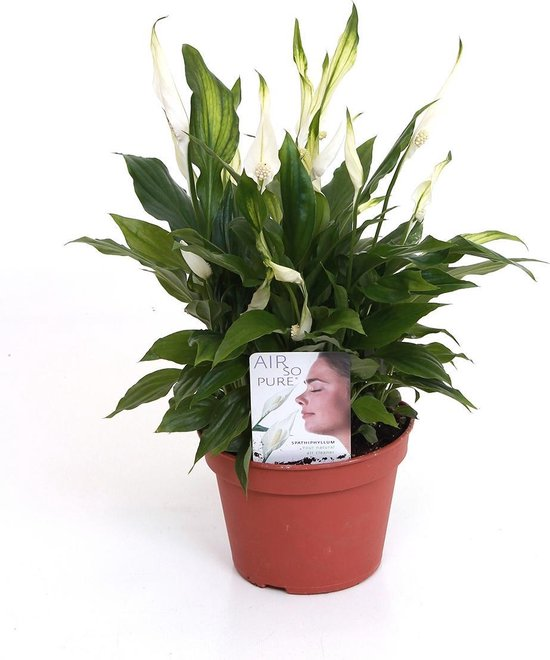 Lepelplant | Spathiphyllum 'Pearl Cupido' per stuk - Kamerplant in kwekerspot ⌀15 cm - ↕40-45 cm