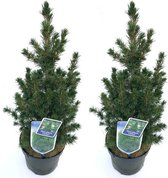 Kerstboompje Picea glauca 'Conica' - 75 cm hoog - potmaat 19 cm - 2 stuks