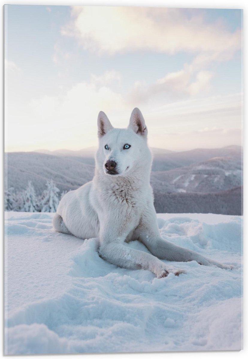 Plexiglas - Witte Husky met Blauwe Ogen in de Sneeuw - 40x60cm Foto op Plexiglas (Wanddecoratie op Plexiglas)