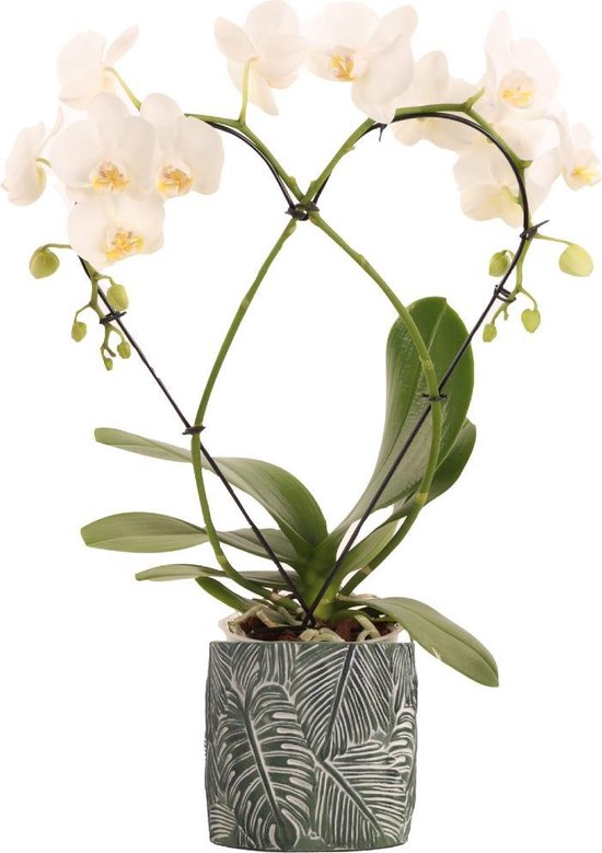 Phalaenopsis hartvorm (wit) 2-tak in keramiek pot