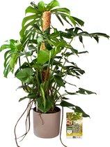 Pokon® Monstera / Gatenplant incl. watermeter en voeding - in Mica Era Pot Licht Grijs - hoogte ↕120 cm