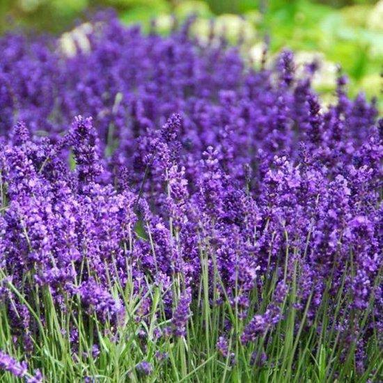 bol.com | 10 x Lavandula angustifolia Hidcote - lavendel in C1.5 liter pot  met hoogte 10-20cm