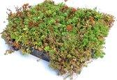 Intergard Groendak Sedum kliksysteem 45x50cm - Groen