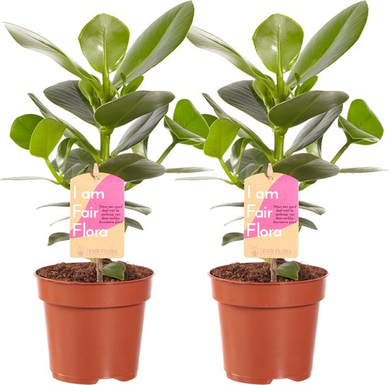 Fair Flora Clusia Princess van VDE Plant - 35cm - 2 stuks