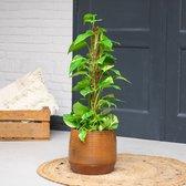 Epipremnum Aurum | Groene Kamerplant | Potmaat 19cm | Hoogte 85cm | Geleverd in kwekerspot
