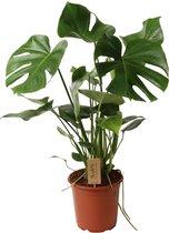 ZynesFlora.nl   Monstera Deliciosa  - Kamerplant - Ø 21 cm - ↕ Hoogte: 80-85cm – Gatenplant - Monstera