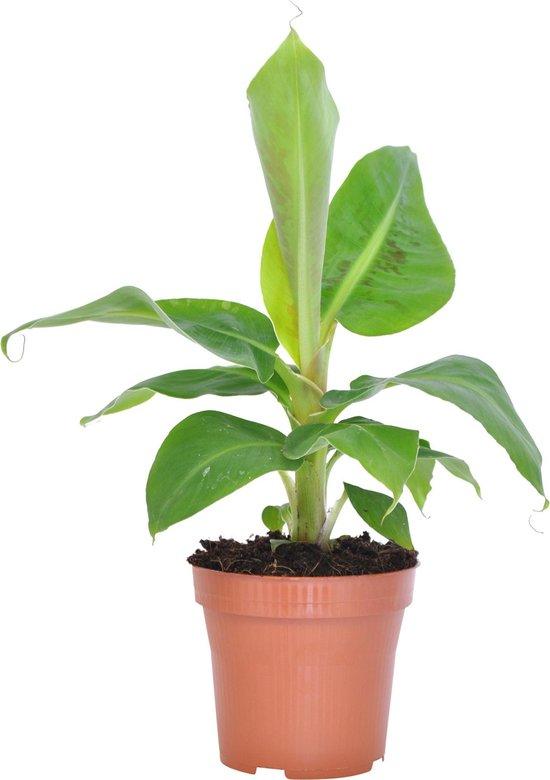 Musa 'Oriental Dwarf' - Bananenplant - ↑ 30-45cm - Ø 12cm