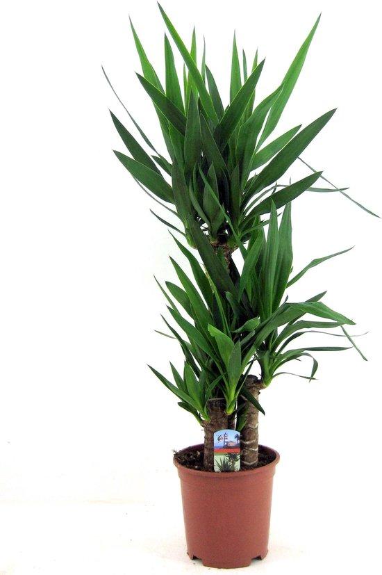 Trendy kamerplant - Yucca Ø21