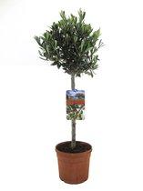 Olijfboom Olea Europaea - 80cm
