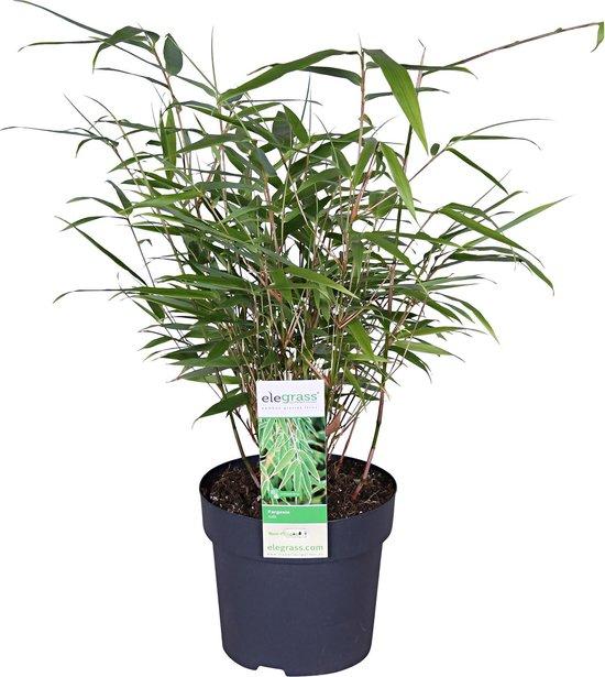 2x Fargesia Bamboe 'Rufa' - Sierlijke bamboe - Set van 2 - ↑ 30-60cm - Ø 13cm