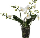 Orchidee | Original Orchids Wit