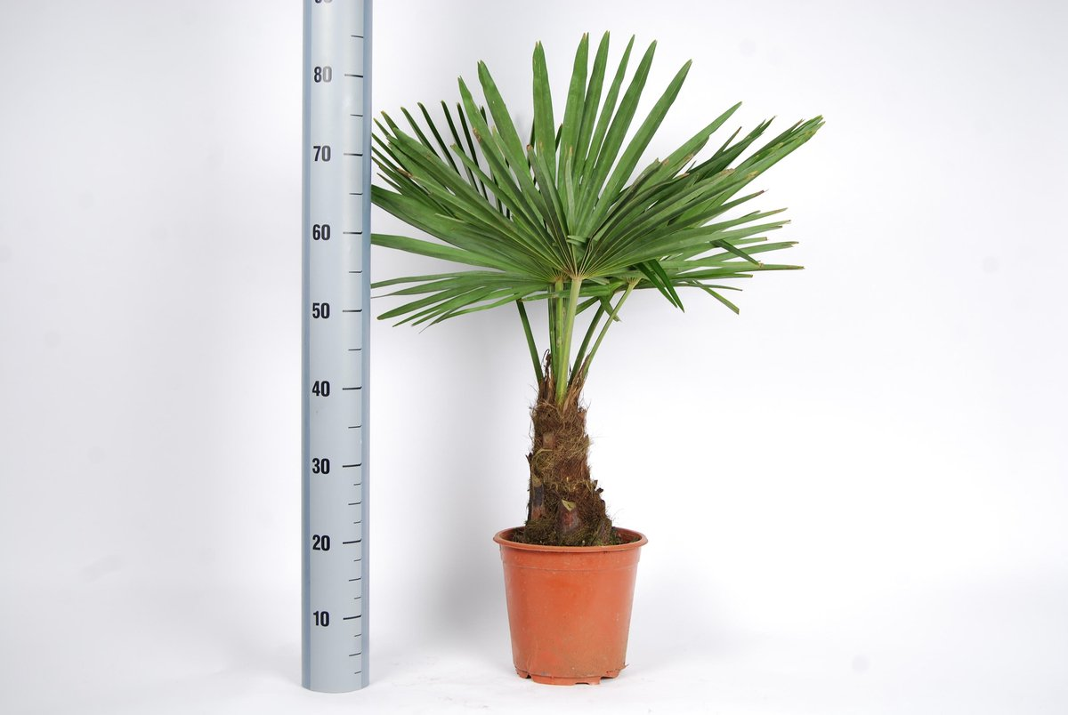 Winterharde palmboom - Trachycarpus fortunei  90cm