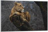 Plexiglas –Leeuw op Boomstam– 150x100 (Wanddecoratie op Plexiglas)