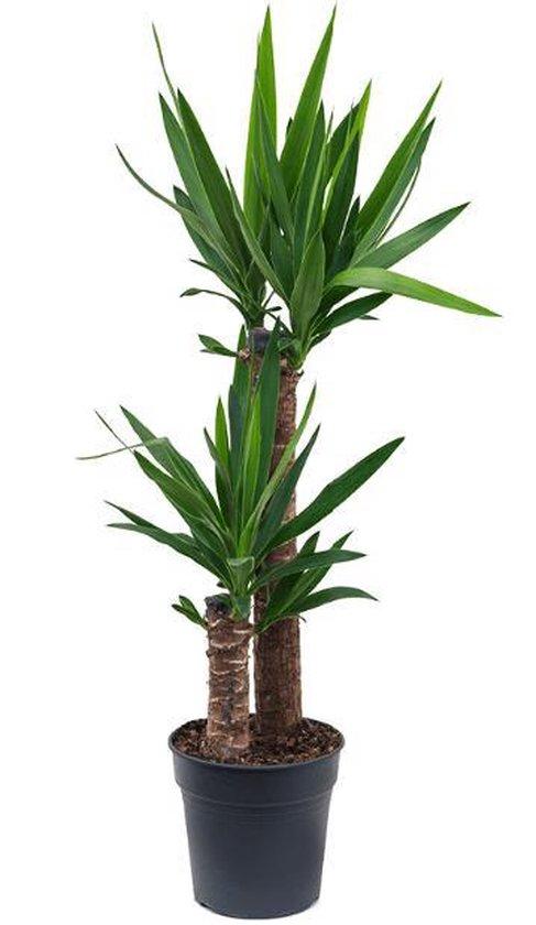 Yucca Palmlelie toef medium
